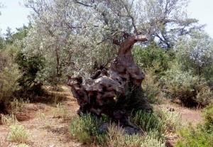 4.000 Jahre alter Olivenbaum