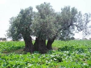 5.000 Jahre alter Olivenbaum<br />in der Mitte viergeteilt und die Krone ist wieder zusammengewachsen