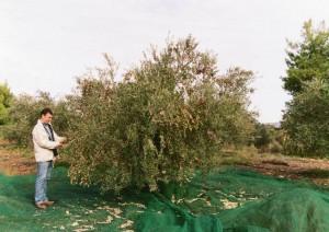 Evangelos Dimarakis prüft die Reife der Oliven