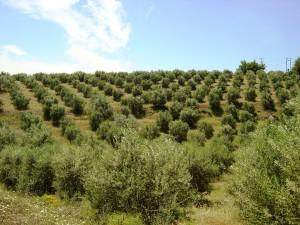 Olivenhain der Familie Dimarakis