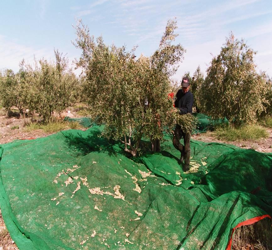 Das Netz wird unter den Baumen ausgebreitet, damit ausschließlich gesunde, frisch geerntete Oliven verarbeitet werden.