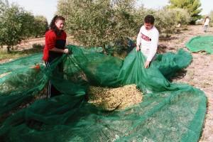 Einsammeln der Oliven im Netz