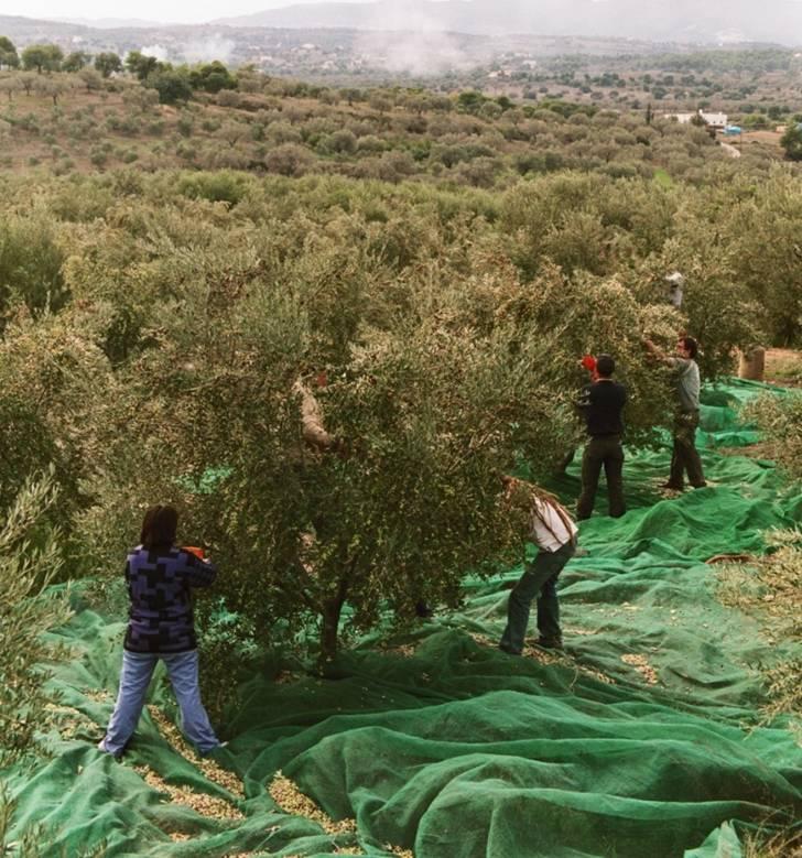 Die Olivenernte in Griechenland läuft auf Hochtouren!