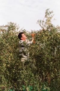 Fleißiger Helfer bei Olivenernte im Baum