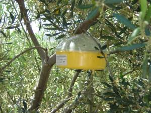 Pheromonfalle im Olivenbaum
